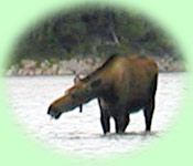Moose in the Aniak River