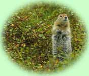 Arctic Ground Squirrel on hind legs